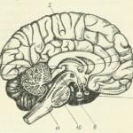 головной мозг срединная поверхность