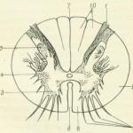 поперечный разрез спинного мозга
